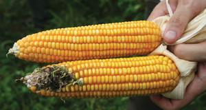 GMO-vs-Non-GMO-Corn