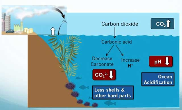 ocean acidification consequences on flora and Ocean acidification (oa) could change the ecosystems of our seas even by the end of this century biologists have assessed the extent of this ominous change they compiled and analyzed all available data on the reaction of marine animals to oa while the majority of investigated species are affected, the respective impacts are very specific.