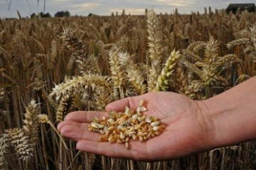 wheat_in_hand