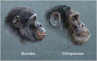 Our closest relative…the Bonobo | iFink!