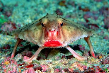 red-lipped-batfish